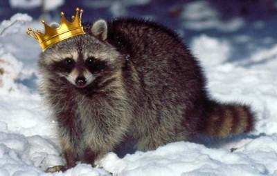 king-raccoon-2